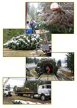 Harvesting Giant Christmas trees is quite a process